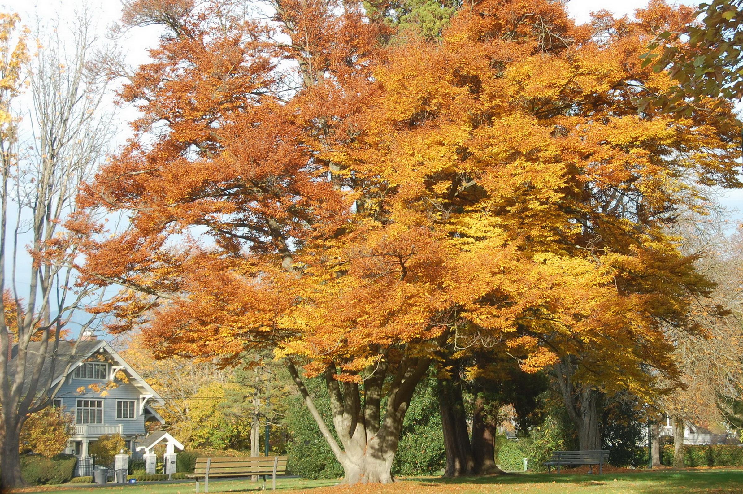 溫市豪宅區秋色街樹導覽