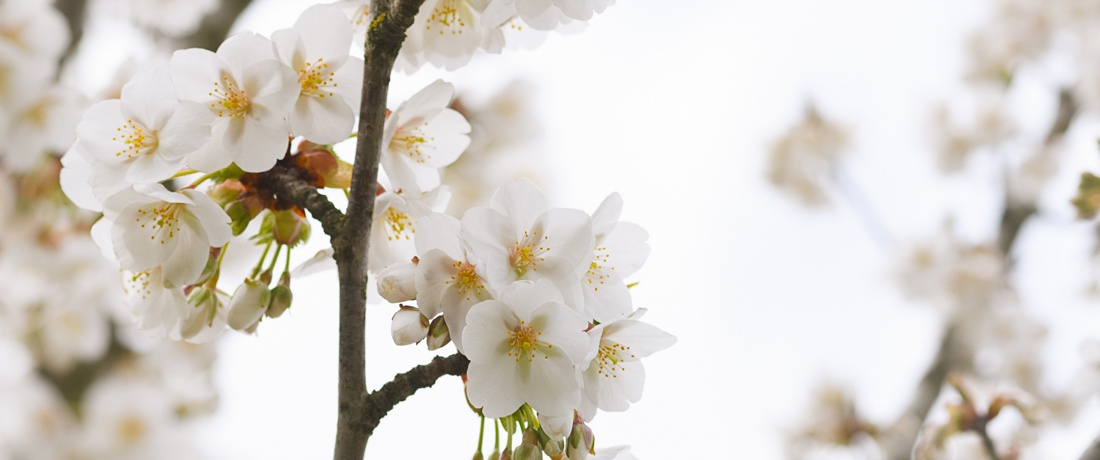 slider-溫哥華櫻花 Vancouver Cherry Blossom