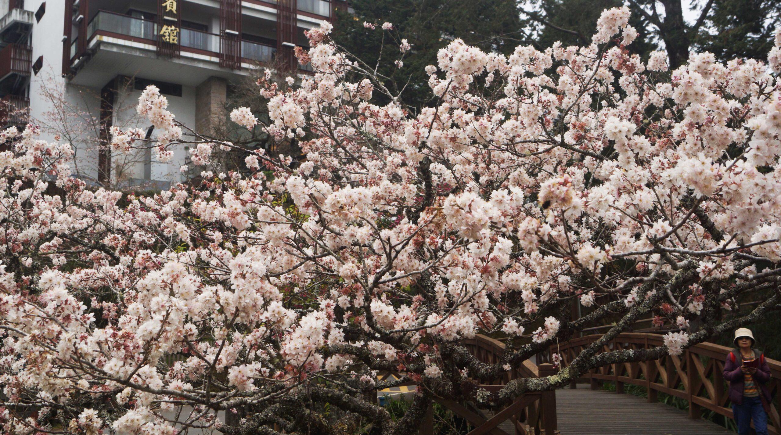 2021 溫哥華櫻花賞 – 認識台灣常見櫻花 3之3