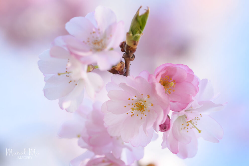 2021 溫哥華櫻花賞 – 這是什麼花?