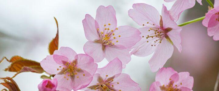 溫哥華櫻花賞 Vancouver Cherry Blossom
