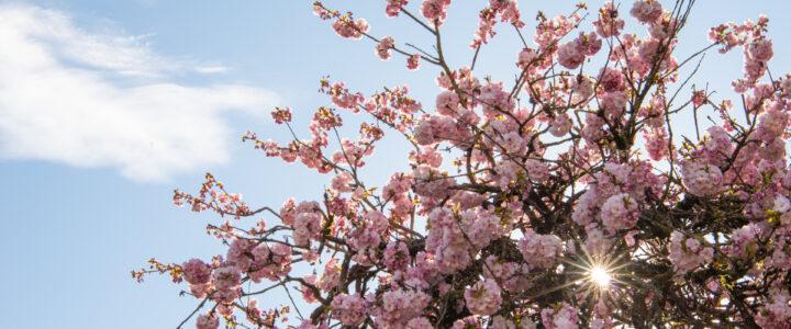Vancouver Cherry Blossom 溫哥華櫻花賞