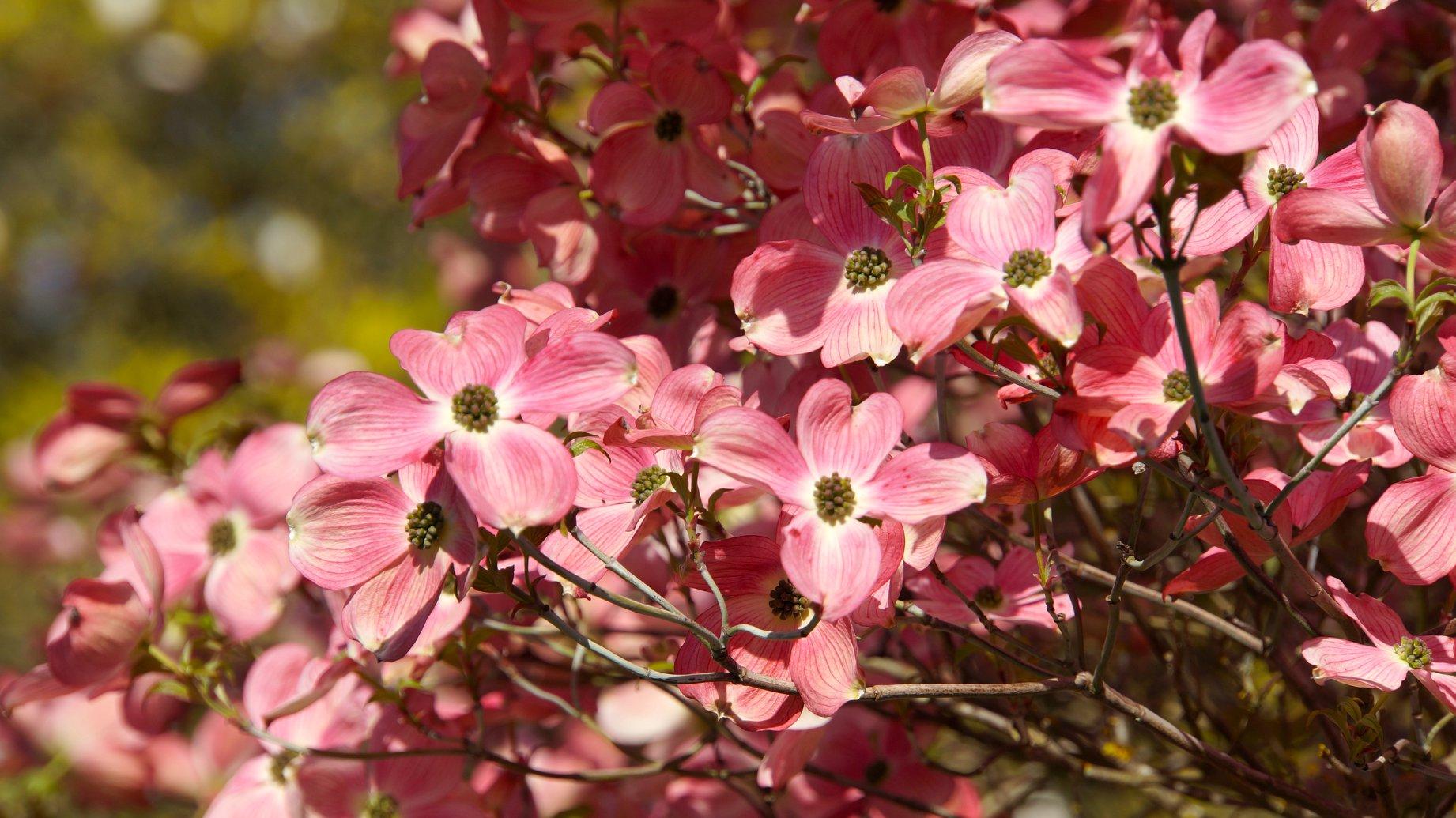 美東大花山茱萸 / 佛羅里達大花山茱萸 Cornus florida  / Flowering dogwood