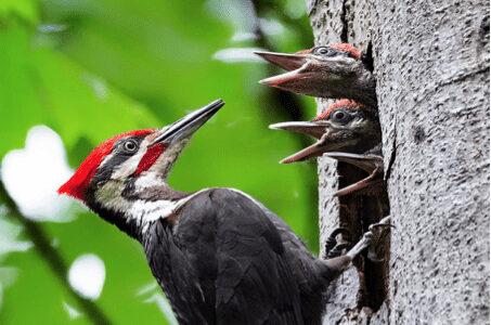 北美黑啄木鳥 Pileated woodpecker