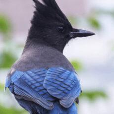 暗冠藍鴉(Steller's Jay)