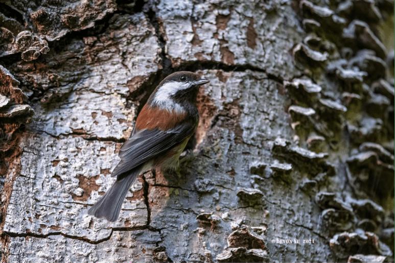 Chestnut-backed Chickadee 栗背山雀
