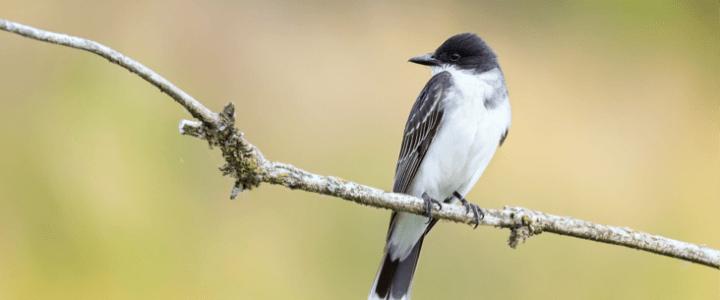 東王霸鶲 Eastern Kingbird
