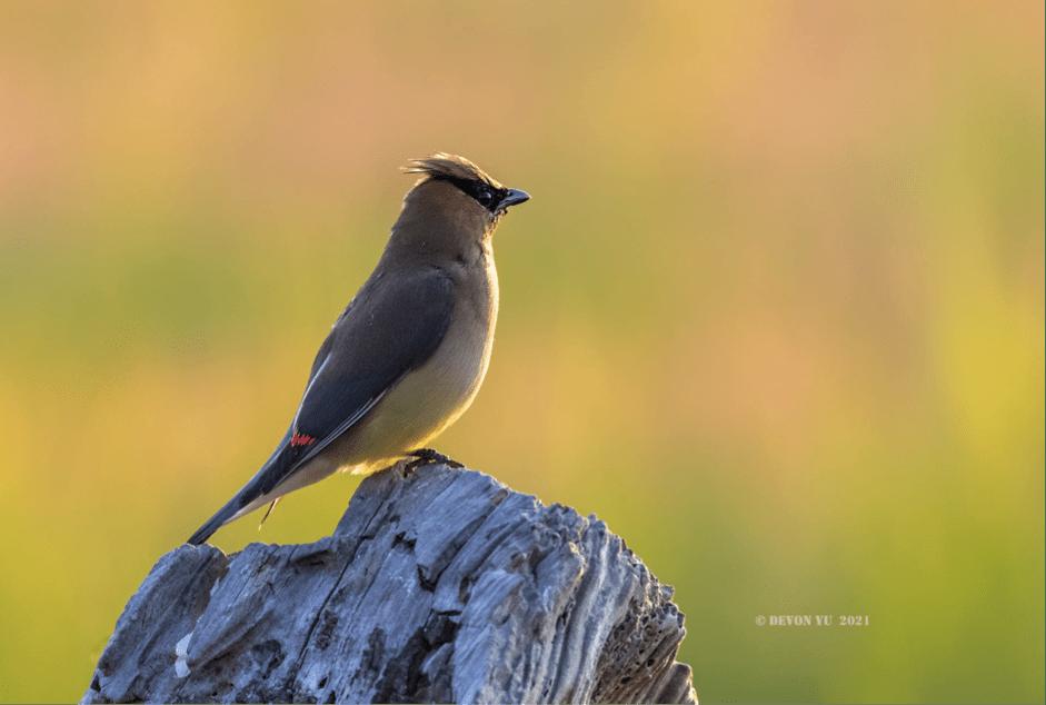雪松太平鳥 Cedar waxwing