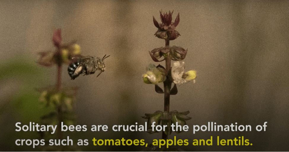 非社會性蜜蜂 solitary bees