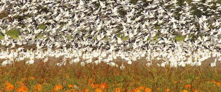 Snow Goose (Chen Caerulescens) 雪雁