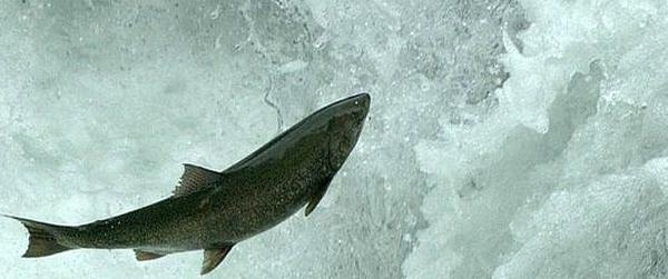 Stamp Falls salmon2h